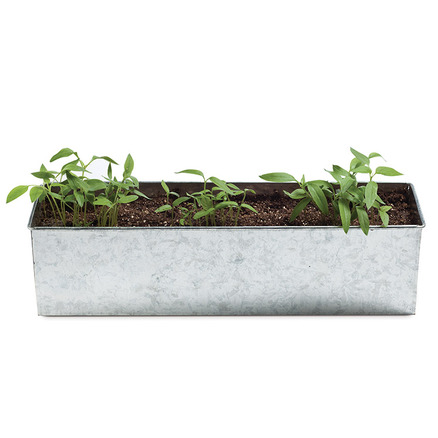 Kit Foodie Garden de horticultura de pimientos Triple XXX Pepper
